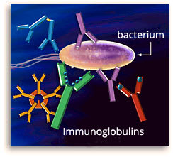 Image: Drawing of immunoglobulin molecules attacking bacteria cell.