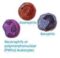 "Image: ""Neutrophils or polymorphonuclear (PMNs) leukocytes."""