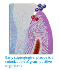 "Image: ""Early supragingival plaque is a colonization of gram-positive organisms."""