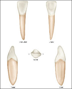 Lateral Incisor