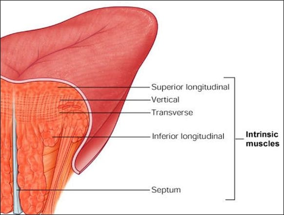 Diagram showing intrinsic muscles of the tongue.
