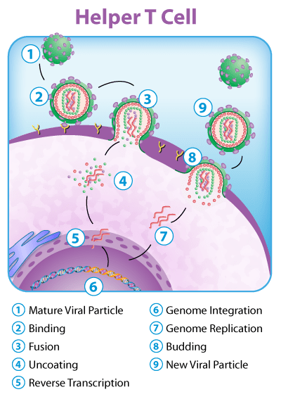 Image: Diagram of Helper T Cell