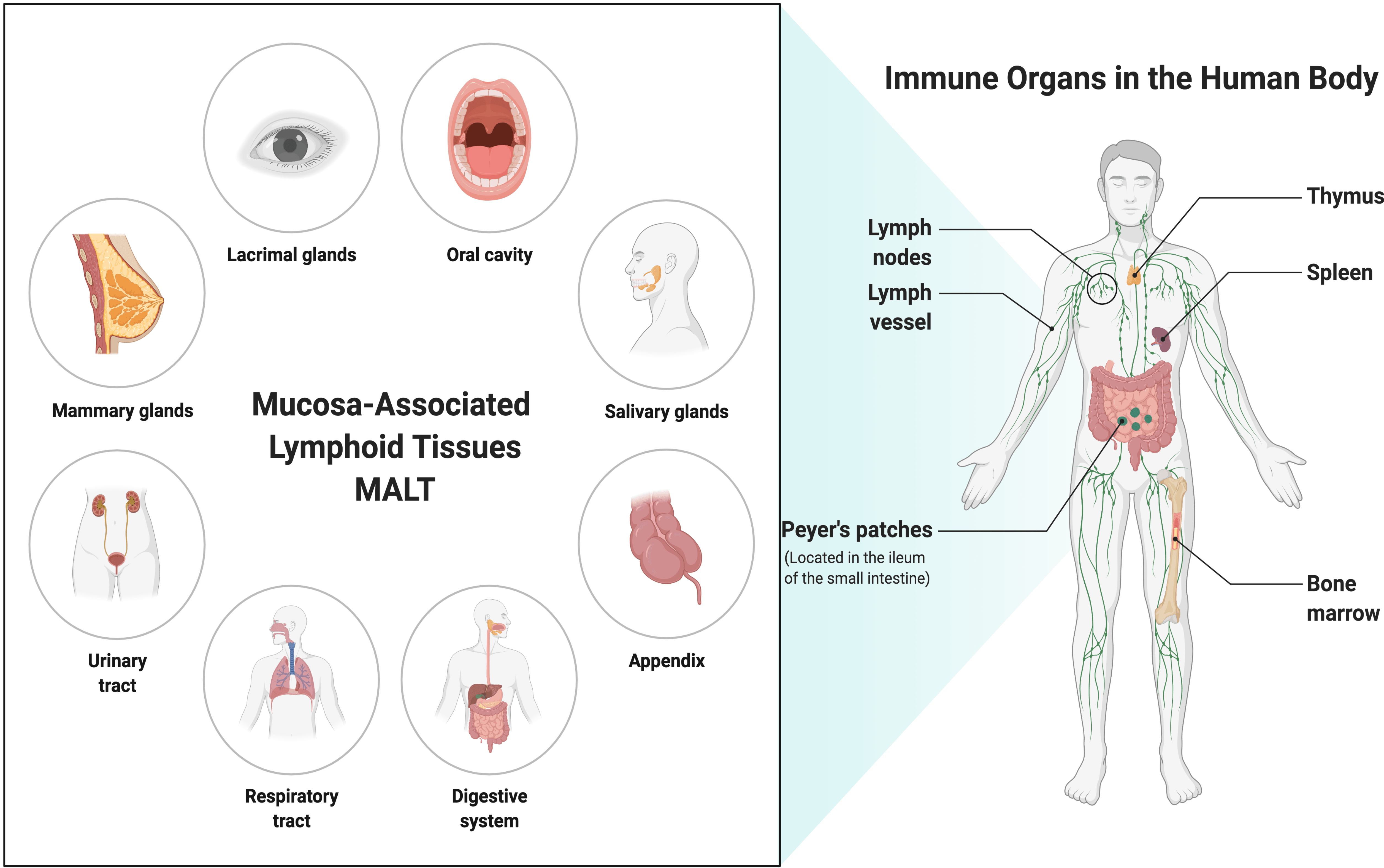 Image: Drawing of humoral immunity B-cell and cell-mediated immunity T-cell.