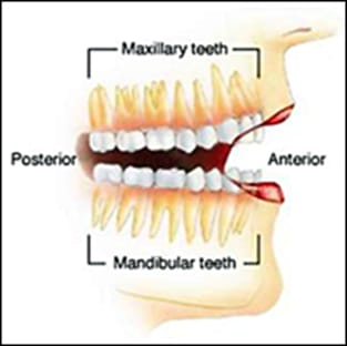 diagram showing maxillary teeth and mandibular teeth.
