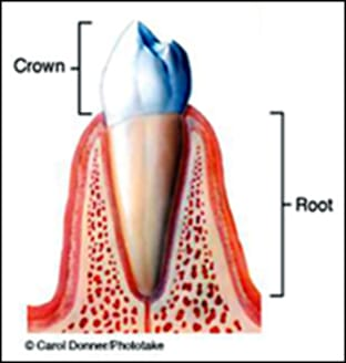 diagram of crown and root of tooth.
