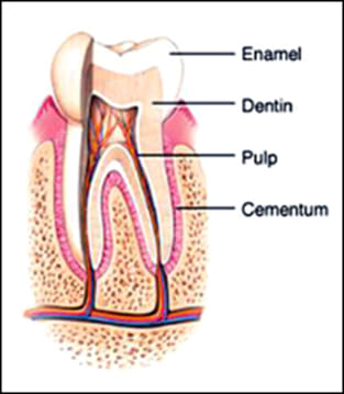 diagram of parts of the tooth.