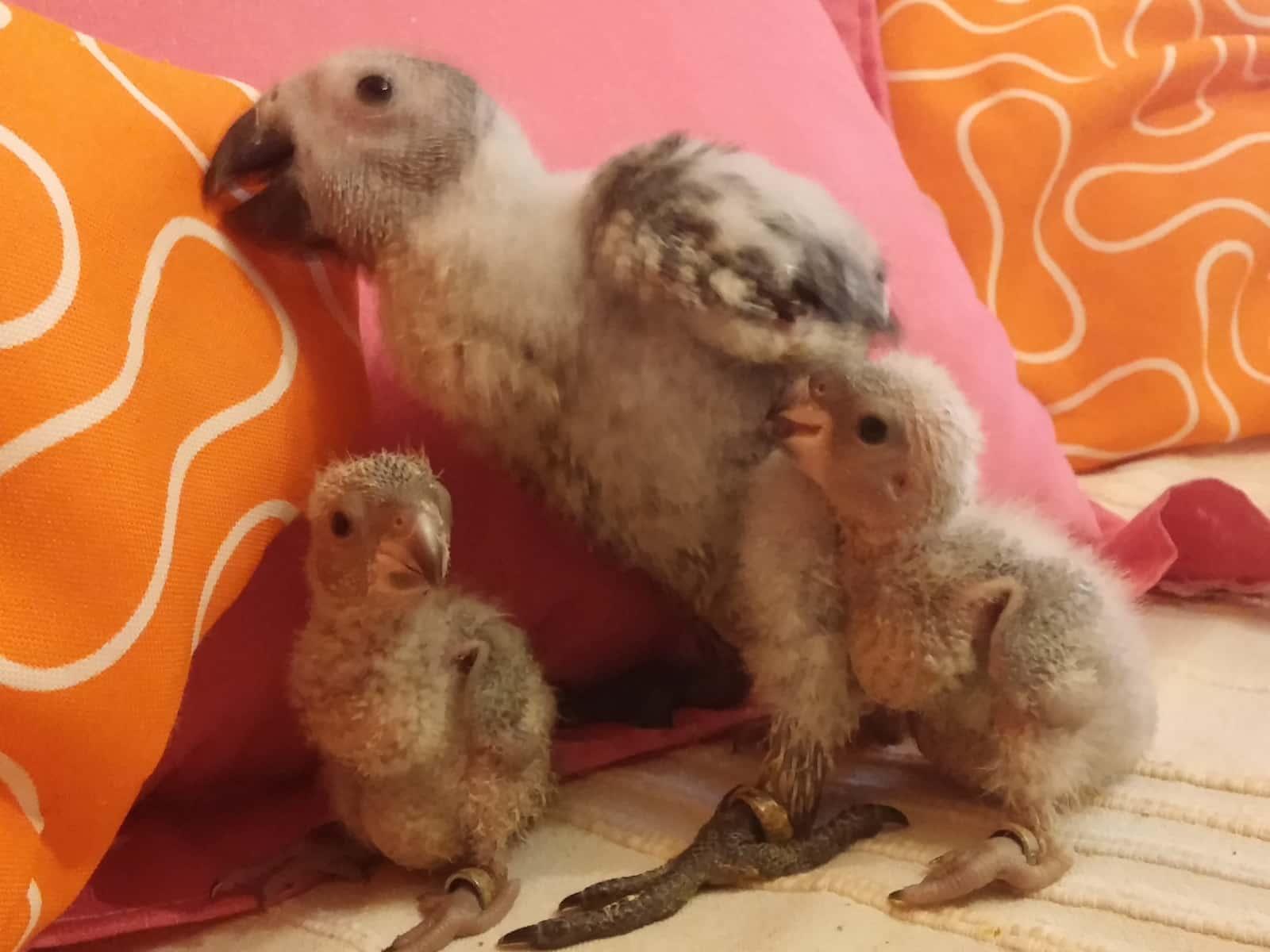 Puri's baby parrots