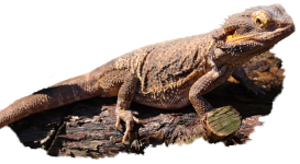 Reptar the Bearded Dragon with a transparent background