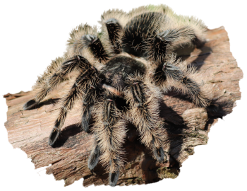 Fluffy the Tarantula with a transparent background
