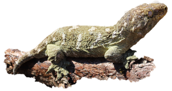 Littlefoot the lizard with a transparent background