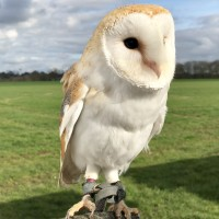 Eglantine the White Barn Owl