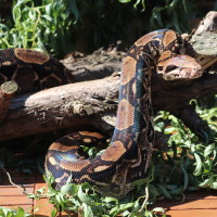 Muggle, our Boa Constrictor wrapped around a log