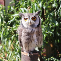Echo, our White-Faced Owl standing on a log