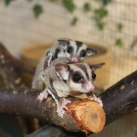 Sugar Glider with baby on her back