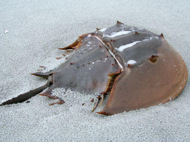 Sea Life: Pfeilschwanzkrebs