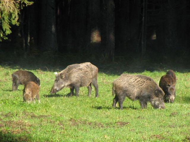 Wildschweine im Forstenrieder Park.