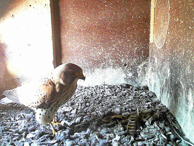 Turmfalken 2016 - Elterntier im Nistkasten