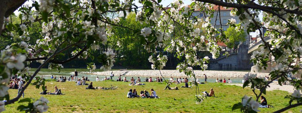 Den Frühling an der Isar genießen: Kirschbluete