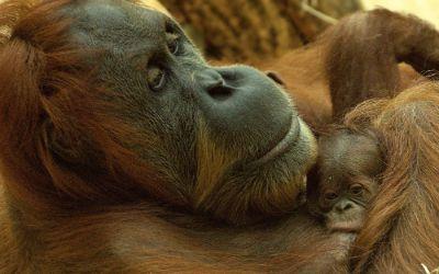 Neues Orang-Utan Baby in Hellabrunn