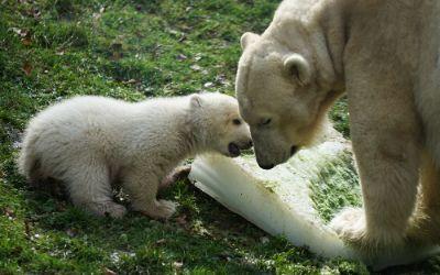 Eisbärenmama Giovanna mit Baby Quintana