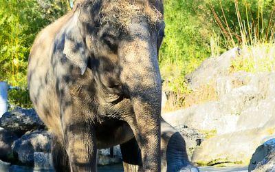 Elefantenkuh Steffi im Tierpark Hellabrunn