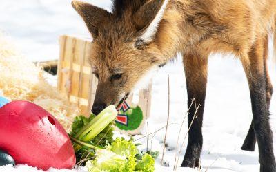 Mähnenwolf mit Ostergeschenk im Tierpark Hellabrunn