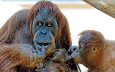 Das Orang-Utan-Baby im Tierpark Hellabrunn mit seiner Mama.