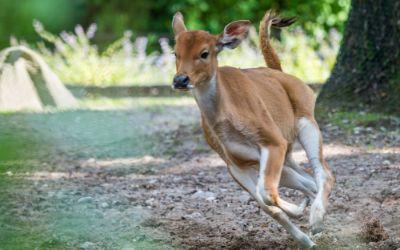 Banteng Baby im Lauf