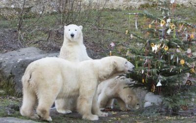 Weihnachtsüberraschung für die Eisbären