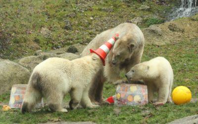 Eisbären feiern Geburtstag