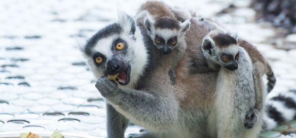 Katta-Mutter mit Kindern