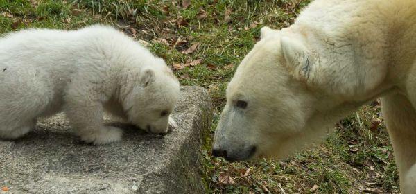Eisbärbaby beim ersten Ausflug