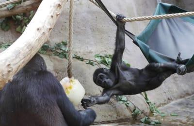 gorilas zoo praga