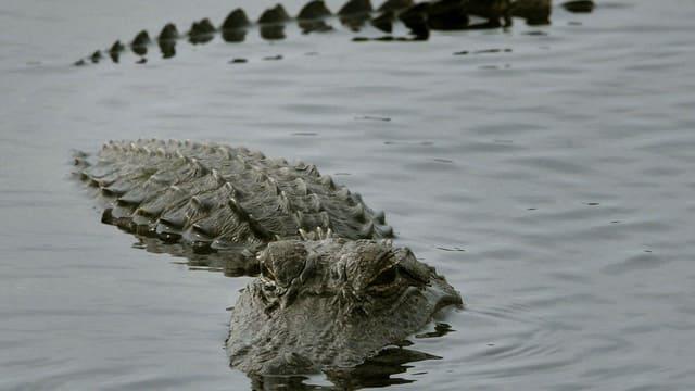 Captan a cocodrilo de más 3 metros en pleno Río Bravo (VIDEO)