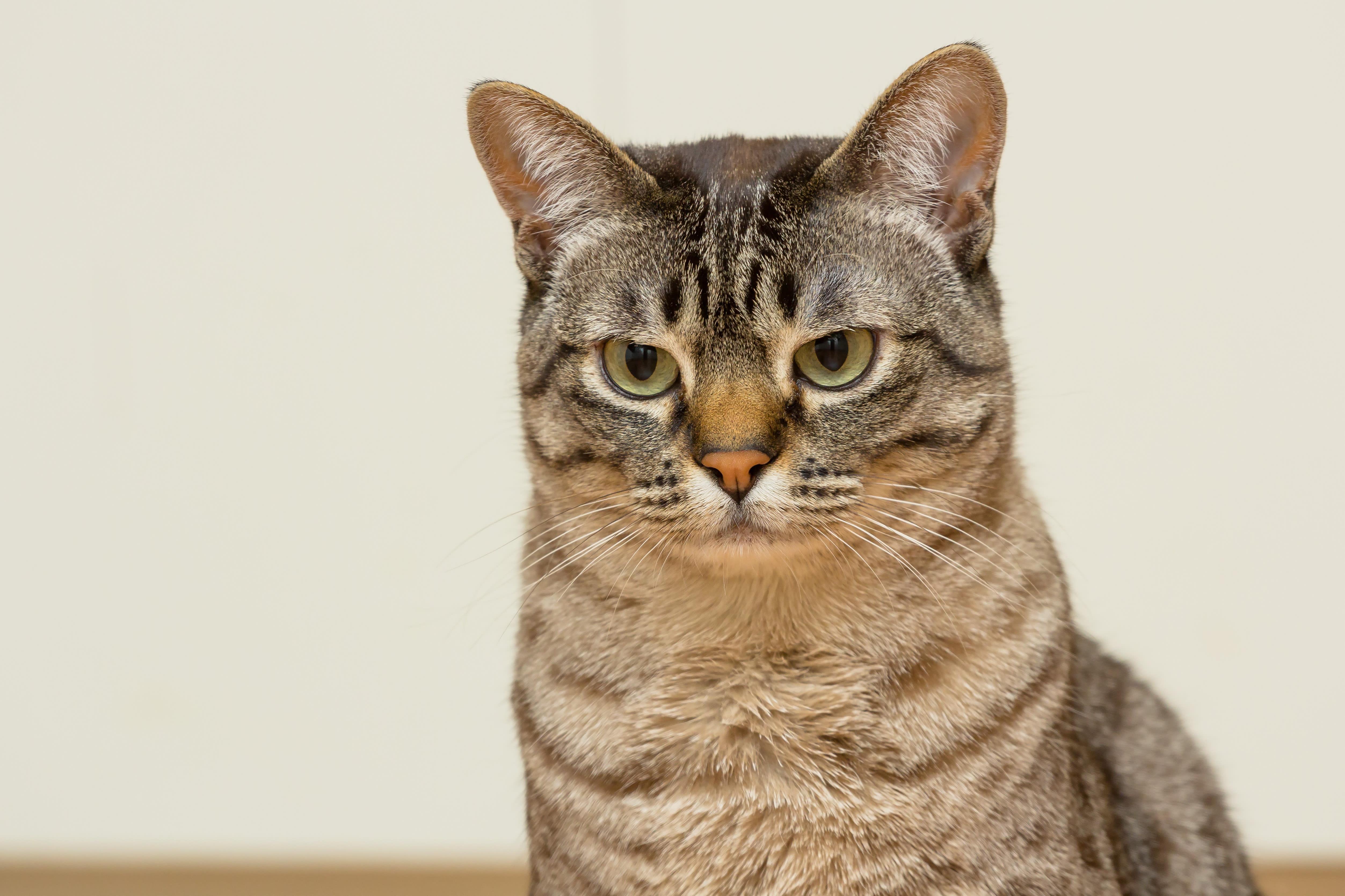 Gatos como Garfield para regalar a tus hijos: 7 razas de mininos atigrados