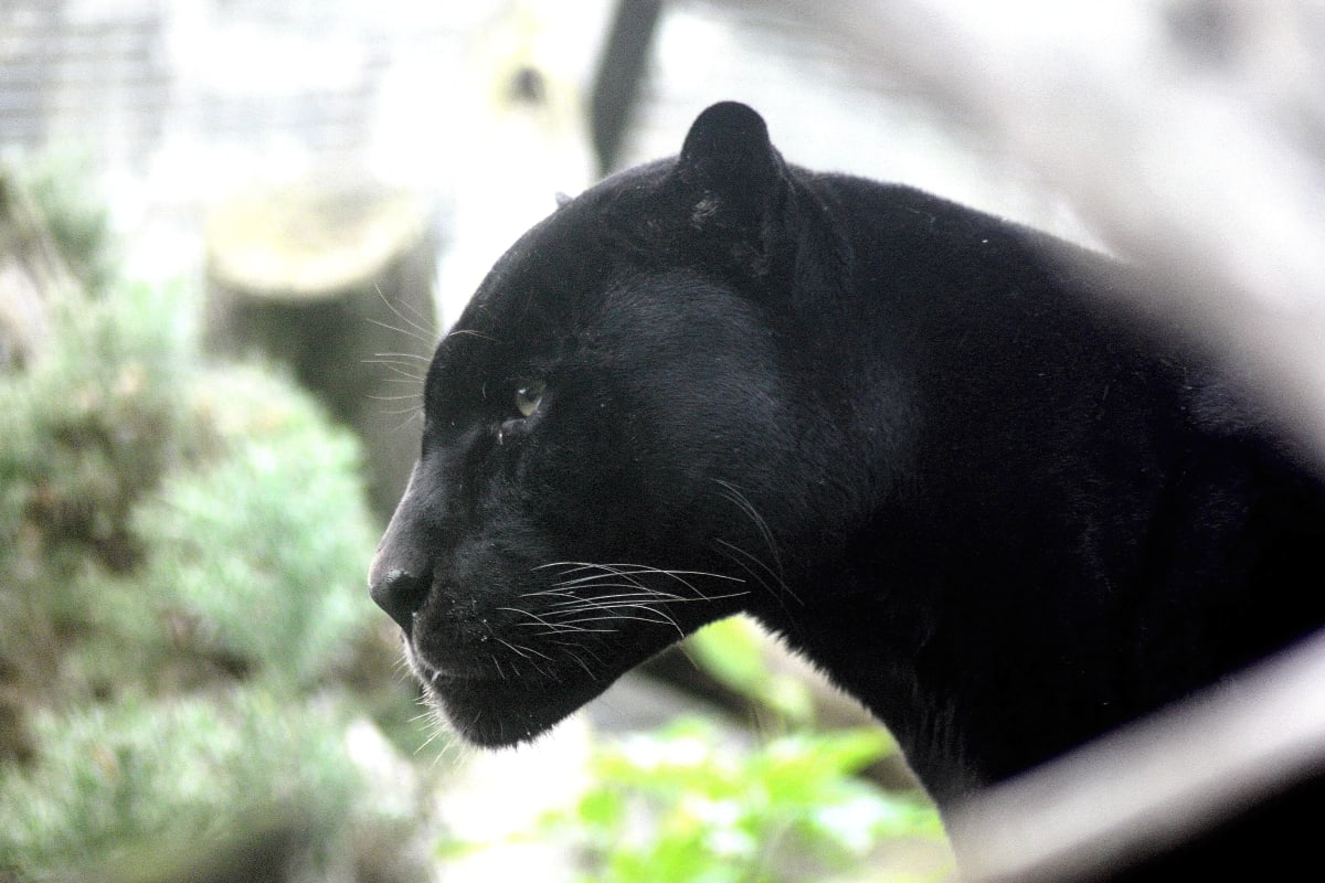Ataque de Jaguar negro, zoológico.