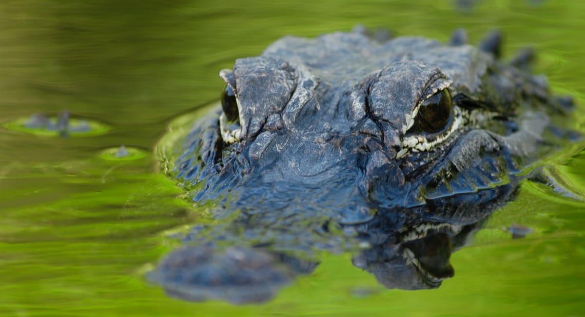alerta alligator