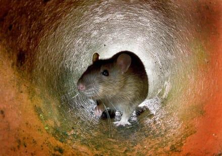 Misterio: Ratas infectan a personas en Hong Kong con hepatitis (FOTO)