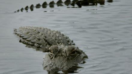 Cocodrilo mata a mujer que lavaba ropa en una laguna en Tamaulipas, México