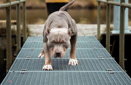 FLORIDA: Un perro pitbull mata a su dueña de 84 años (FOTOS)