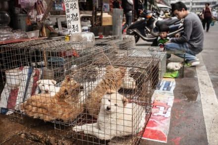 Perros rescatados del mercado de carne en China llegaron a Nueva York