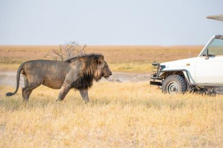 Un león saltó a un auto de turistas y pasó algo sorprendente (VIDEO)