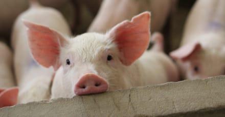 Aprueba Estados Unidos cerdos de laboratorio para alimentos y medicinas