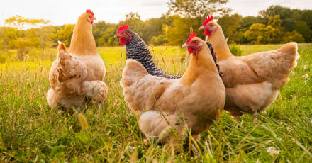 Las plumas de las gallinas podrían convertirse en comida