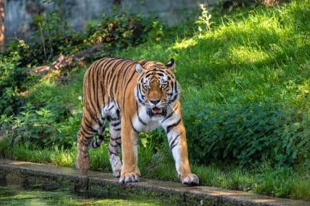 Latino detenido por tigre suelto en Houston dice que no sabe dónde está (FOTO)