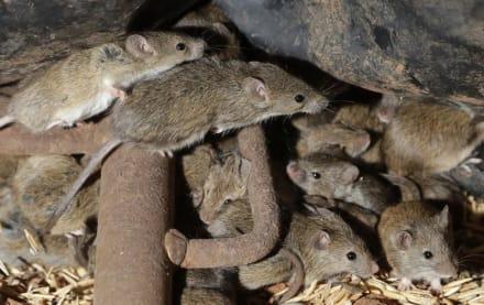Plaga de ratones destructivos atormenta a los australianos