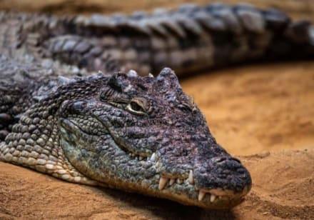 Curioso: ¡Papá del año! Fotógrafo capta a cocodrilo en ejemplar rol de padre