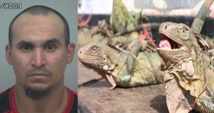 Crónica: Arrestan a hispano que se trajo decenas de iguanas
