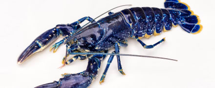 Curioso: Un pescador capta una extraña especie de langosta color azul que lo dejó atónito (FOTOS)