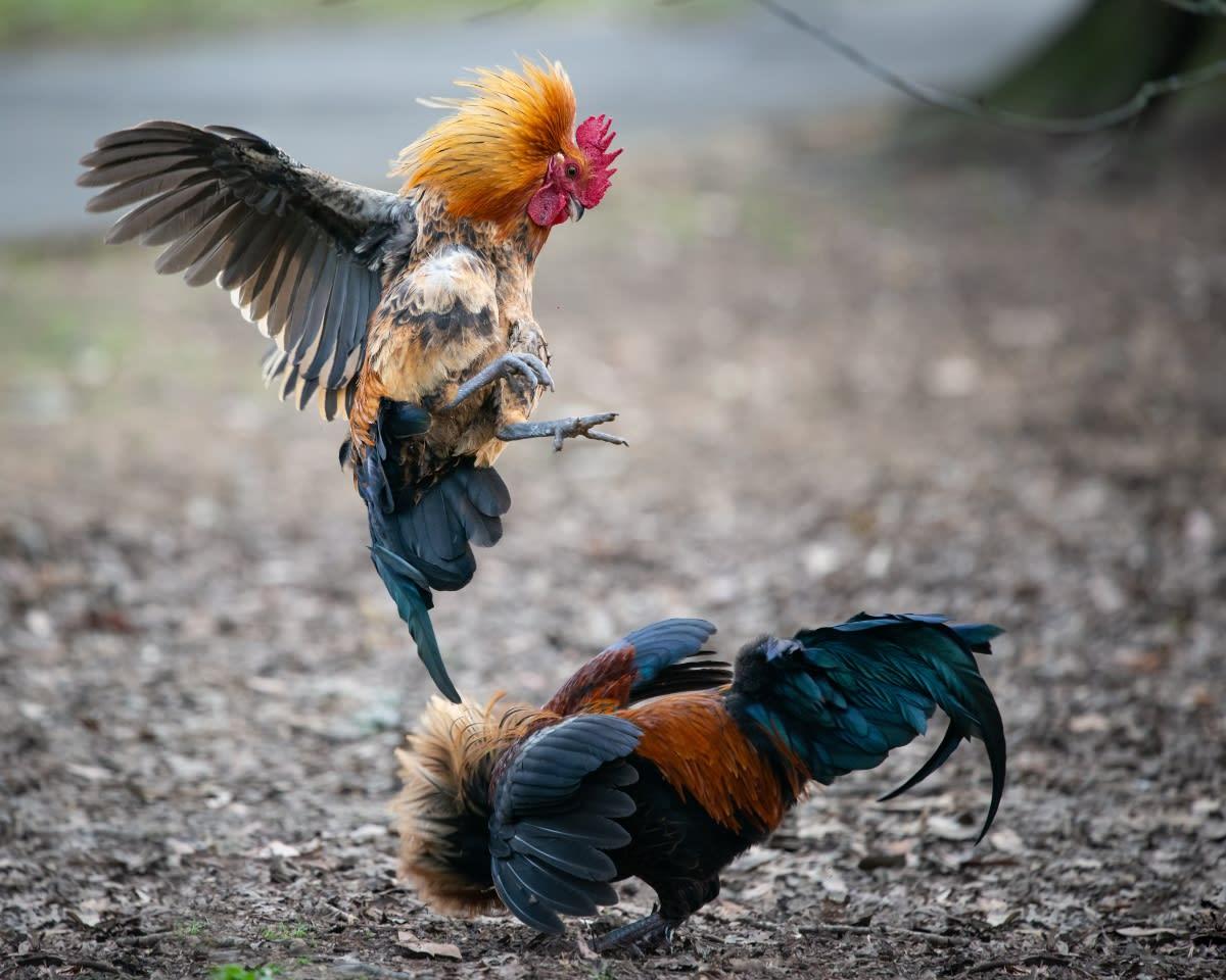 Efectúan pelea de gallos para conocer sexo de su bebé y los tunden en redes (VIDEO)